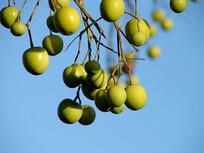 苦楝树绿色的果实特写镜头