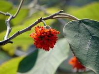 构树果实红色的果实和枝叶