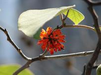阳光下的构树果实