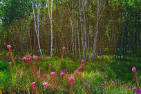 草甸野花白桦林