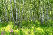 原野野花桦林风景