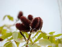 胡桃科树木化香树深褐色的果序