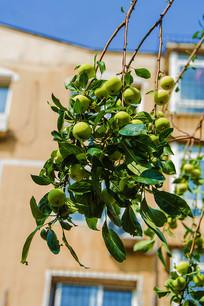 垂挂枝头的大串沙果与树叶