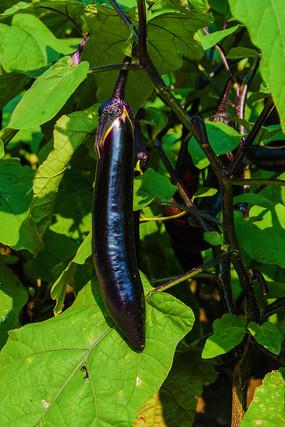 茄子秧上的一个紫茄子