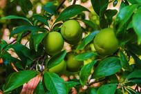 树叶丛中的几枚青杏