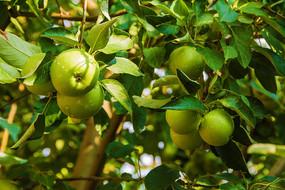 树枝挂两串带水珠黄元帅青苹果
