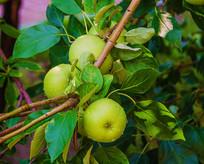 树枝上三个带水珠黄元帅青苹果
