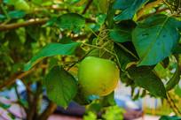 枝叶吊一个带水珠黄元帅青苹果