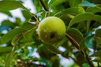 枝叶挂一个带水珠黄元帅青苹果