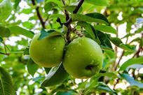 枝叶上两个带水珠黄元帅青苹果