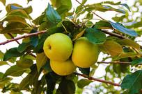枝叶上三个带水珠黄元帅青苹果