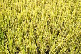 黄金的稻谷