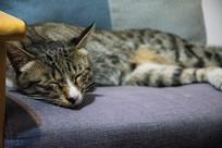 躺在沙发上的灰白花纹家养猫图片