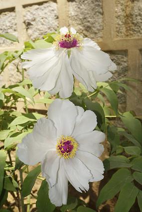 安徽四大名药铜陵凤丹及花朵