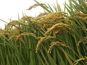 沉甸甸稻米
