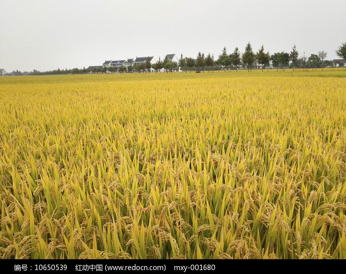 成熟稻田图片