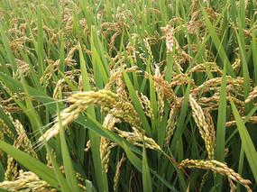拍摄秋稻米