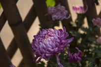 篱下的菊花