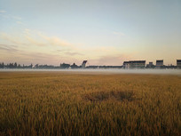 薄雾清晨稻香人家