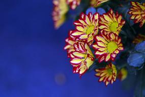 黄瓣红边型秋菊花