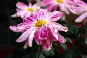 宽瓣型秋菊花