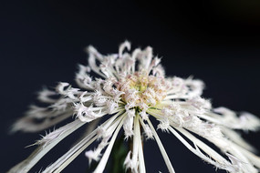 毛刺型秋菊花