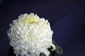 秋菊花-白越山