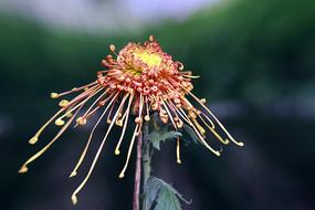 秋菊花-飞鸟的美人