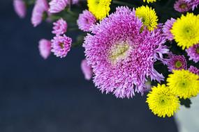 秋菊花-粉红菊