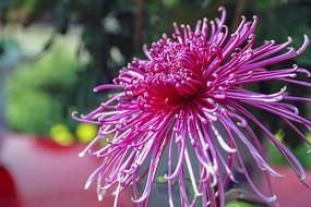 秋菊花-粉红丝菊