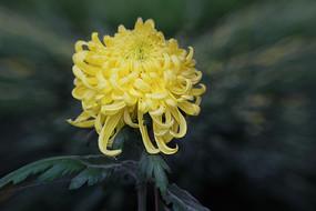 秋菊花-黄越山
