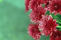 秋菊花-小红菊