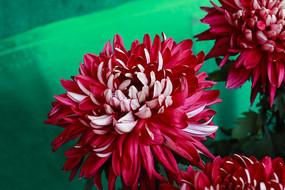 秋菊花-鸳鸯荷