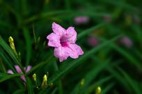 盛开粉色喇叭花的蓝花草