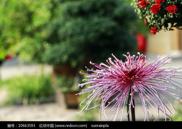 意境秋菊花图片