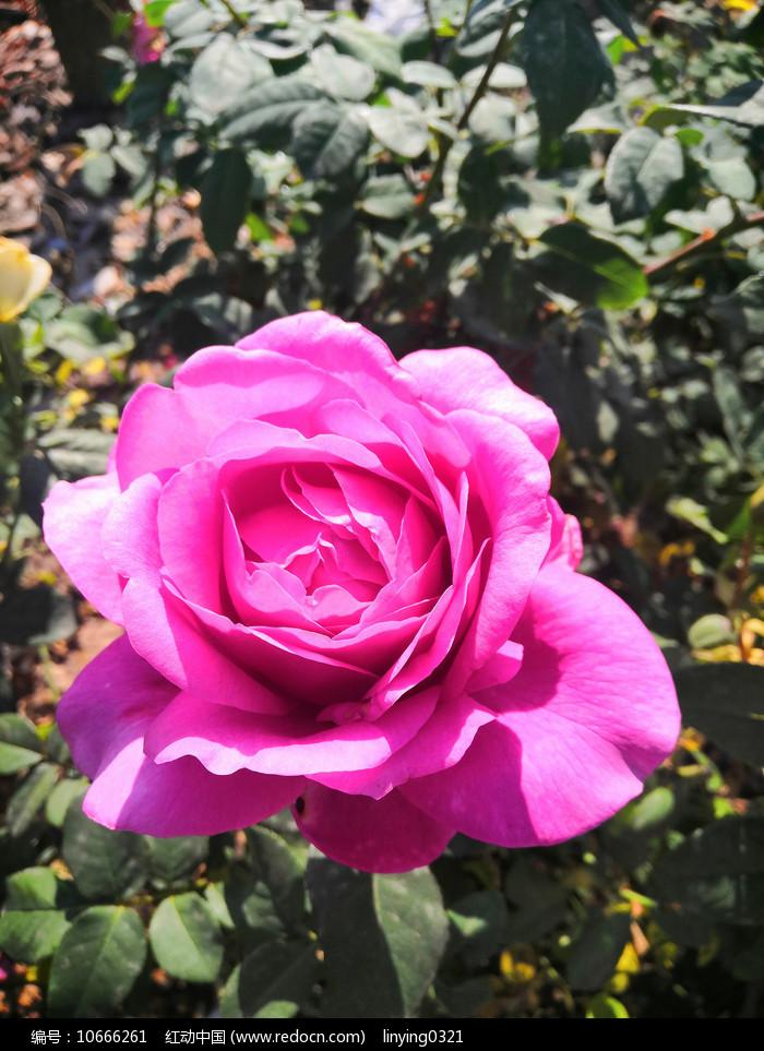 盛开的粉色月季花图片