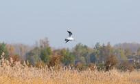 飞翔在芦苇丛上空的红嘴鸥