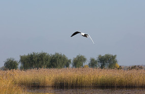 湿地中飞行中的红嘴鸥