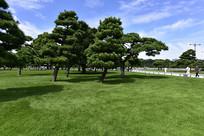草坪上的松树