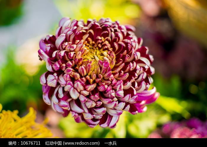 多彩菊花图片