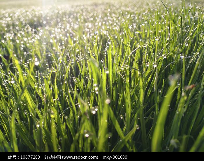 草地晶莹露珠图片