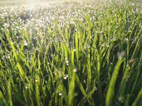 草地晶莹露珠