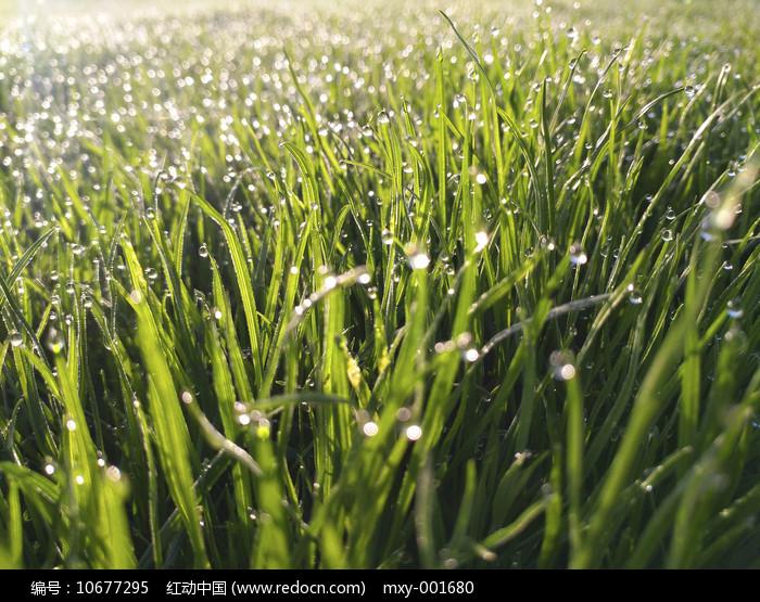 草地露珠素材图片