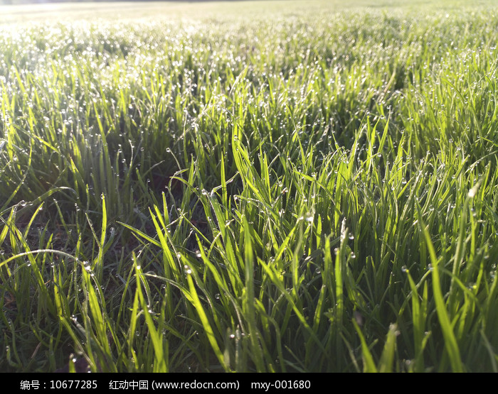 草地清晨露珠图片