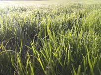 草地清晨露珠