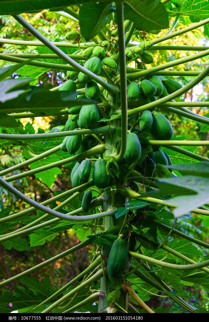 番木瓜图片