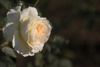 一朵淡黄色月季