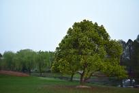 草坪上的绿树