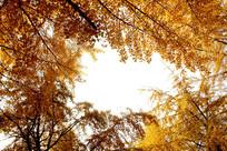 黄色银杏的树叶