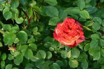 绿叶丛中的玫瑰花